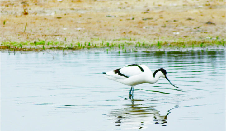 You can spot avocets around the Ebro Delta, in Spain